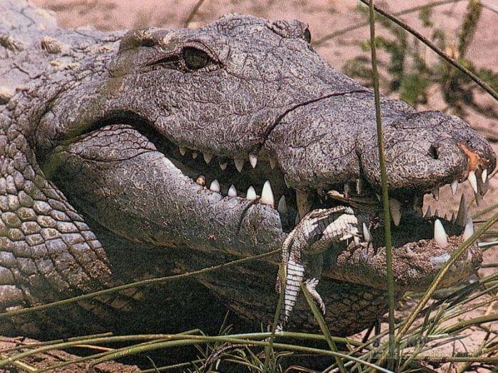 Миссисипский аллигатор (Alligator mississippiensis) фотообои, фото обои, фотография