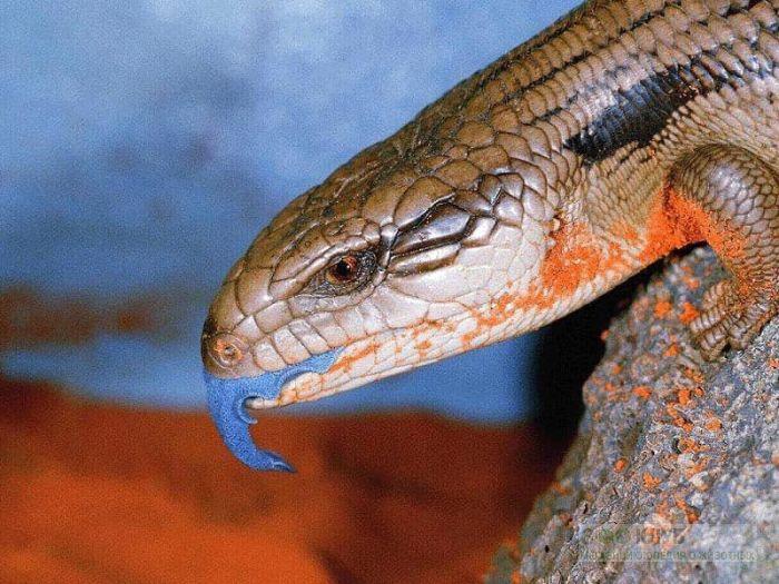 Синеязыкий сцинк (Tiliqua scincoides), фото фотография картинка обои