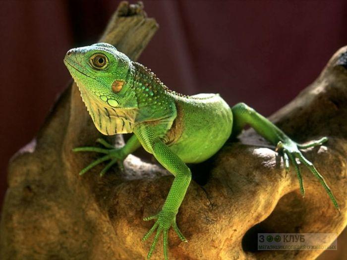 Зеленая игуана (Iguana iguana) фотообои, фото обои, фотография