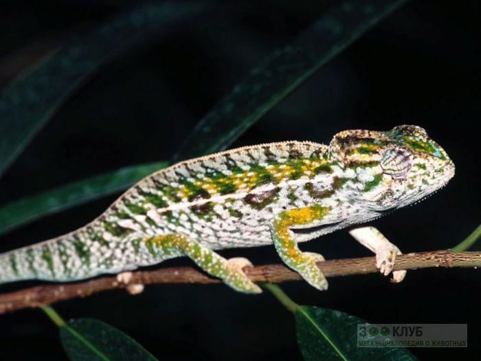 Ковровый хамелеон (Furcifer lateralis), фото фотография картинка обои
