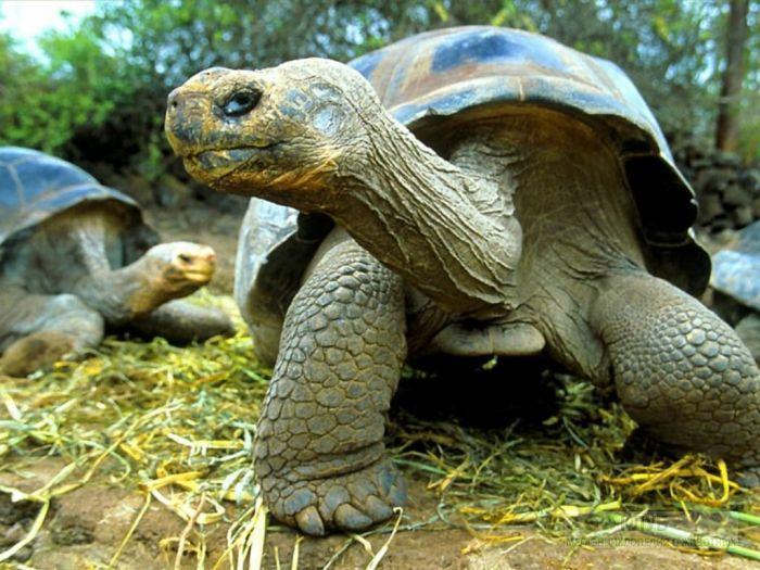 Слоновая черепаха (Chelonoidis elephantopus) фотообои, фото обои, фотография