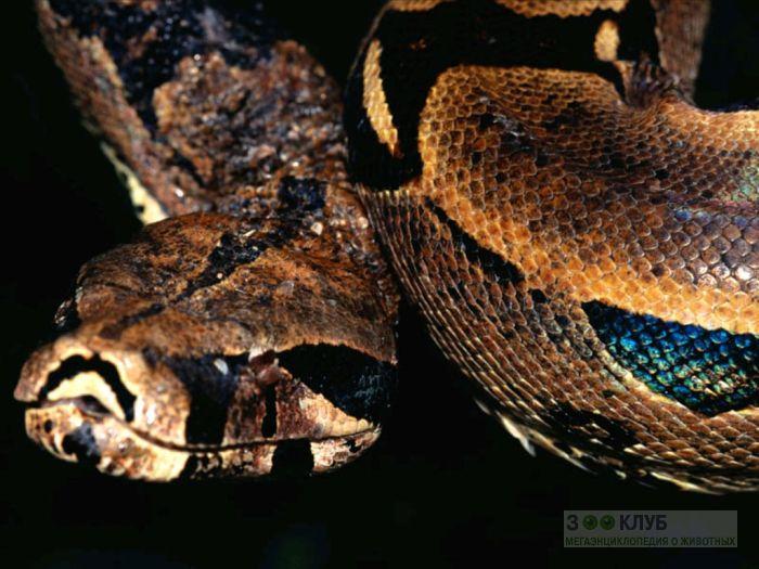 Обыкновенный удав (Boa constrictor), фотообои, фото обои, фотография