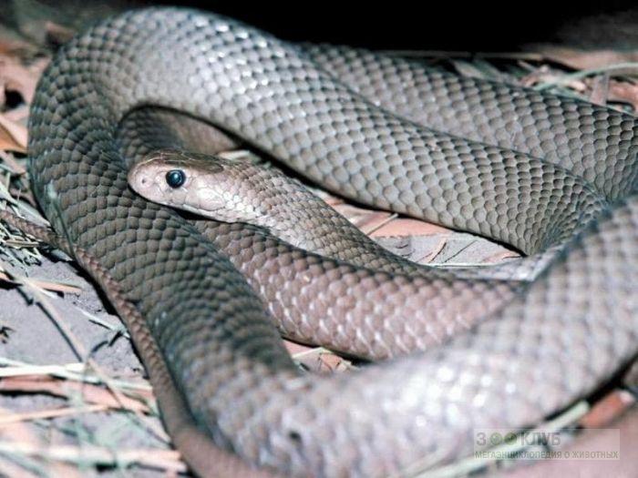 Нубийская плюющаяся кобра (Naja nubiae), фото фотография картинка обои