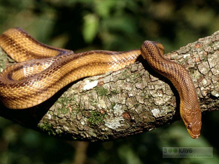 Четырехполосый полоз (Elaphe quatuorlineata) фотообои, фото обои, фотография