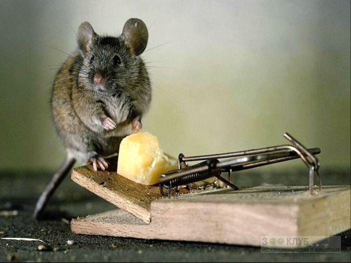Мышка сидит около мышеловки фотообои, фото обои, фотография