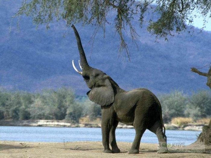 Реферат На Тему Африканские Слоны