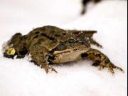 Травяная лягушка (Rana temporaria)