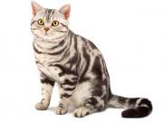 Породы кошек фото с названиями пород на букву а