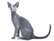 Ориентал, или ориентальная кошка