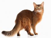 Сомалийская кошка, или сомали